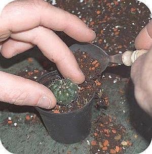 Potgrond Voor Cactussen.Het Verspenen Van Cactussen Stap Voor Stap Met Uitleg En Foto S