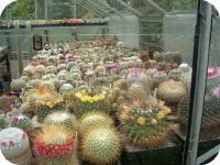 cactussen verzameling in de serre