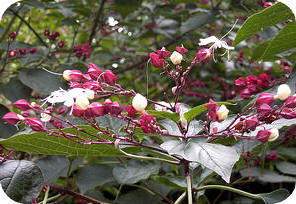Clerodendron boom