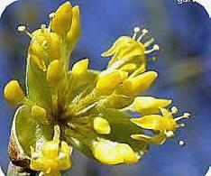 bloemen van de cornus mas