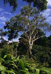 volwassen Eucalyptus