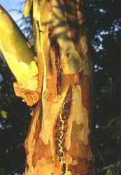 schors van eucalyptus niphophila