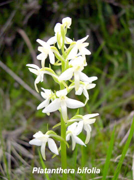 europese orchideeen orchidee in het wild in oostenrijk in. Black Bedroom Furniture Sets. Home Design Ideas