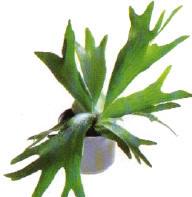 kamerplant varens voor in huis hertshoornvaren soorten