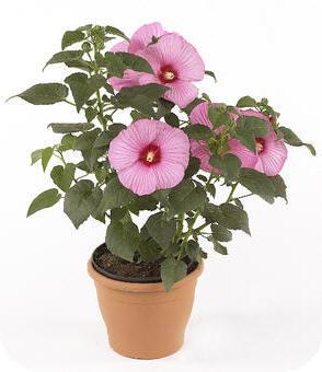hibiscus newbiscus een winterharde plant met reusachtig. Black Bedroom Furniture Sets. Home Design Ideas