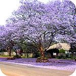 Boom Met Bloemen.Jacaranda Mimosifolia Een Mooie Sierlijke Boom Voor In De