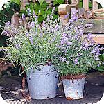 Lavendel In Grote Pot.Lavendels In Geuren En Kleuren Voor Op Het Terras En Balkon