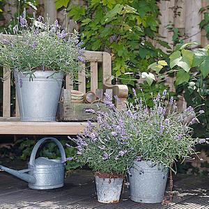 lavendels in geuren en kleuren voor op het terras en balkon. Black Bedroom Furniture Sets. Home Design Ideas