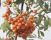 Sorbus aucuparia edulis 'Rosina' --  Eßbare (Mährische) Eberesche - Sorte