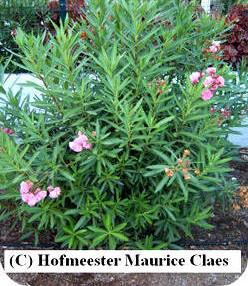 oleander pflege und vermehrung einer sch nen k bel und terrassenpflanze oleander bl ht nicht. Black Bedroom Furniture Sets. Home Design Ideas