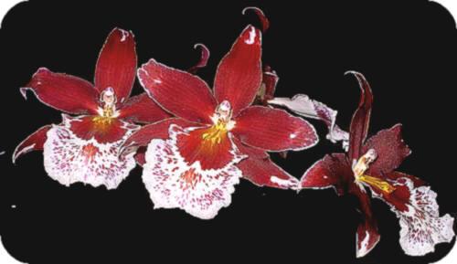 orchidee tak bloemen Vuylstekeara Cambria