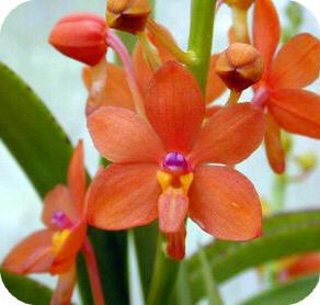 orchidee ascocentrum kweken