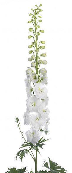 Delphinium Elatum Grp 'Aurora White'