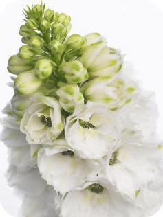 riddersporen Delphinium Elatum Grp 'Aurora White'