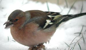 vogels in de tuin vogelsoorten en hoe je ze kan voeren