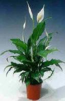 Spathiphyllum - lepelblad