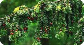 eibe schneiden pflanzen arten ungeziefer ursprung dickmaulr ssler ungeziefer vernichten. Black Bedroom Furniture Sets. Home Design Ideas