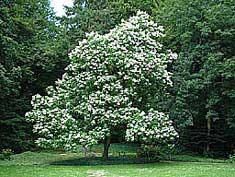 bloeiende boom in mei