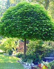Catalpa boom planten