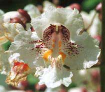 bloem van catalpa speciosa