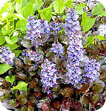 ajuga of zenegroen
