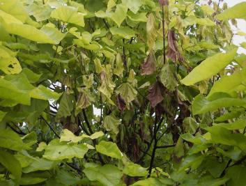 Catalpa schimmel op blad