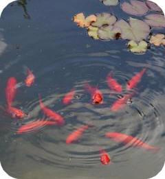 koop geschikte vissen voor de vijver