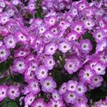 Phlox paniculata 'Purple Eye FLAME' - Vlambloem