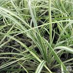 Ophiopogon japonicus 'Silver Mist' - Ophiopogon japonicus 'Silver Mist' - Slangebaard / Japans slangengras