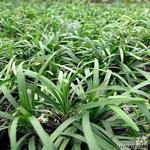 Ophiopogon japonicus 'Nanus' - Ophiopogon japonicus 'Nanus' - Slangebaard / Japans slangengras
