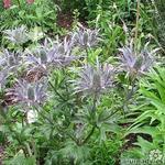 Kruisdistel - Eryngium alpinum 'Blue Star'