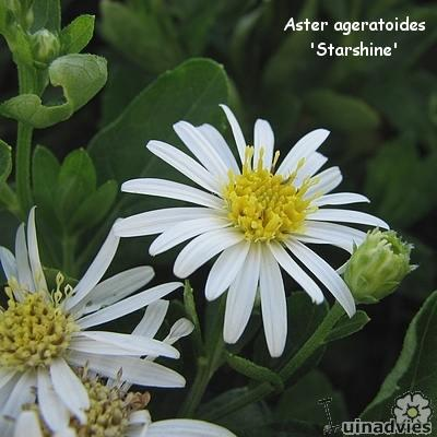 Aster ageratoides -