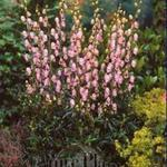 Aconitum 'Pink Sensation' - Aconitum 'Pink Sensation' - Monnikskap