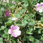 Erodium variabile - Reigersbek