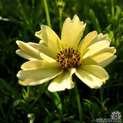 Coreopsis 'Creme Brulee' - Meisjesogen - Coreopsis 'Creme Brulee'