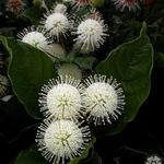 Cephalanthus occidentalis - Kogelbloem