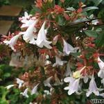 Abelia x grandiflora - Abelia - Abelia x grandiflora