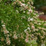 Abelia chinensis - Chinese abelia - Abelia chinensis