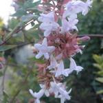 Abelia floribunda - Abelia floribunda - abelia