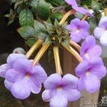 Achimenes grandiflora - Achimenes grandiflora - Achimenes grandiflora