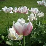 Tulipa - Tulipa - Tulp
