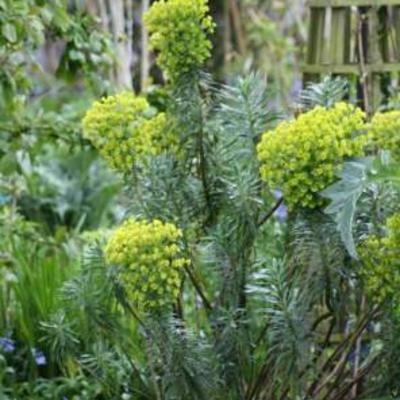 Euphorbia characias -