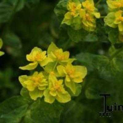Euphorbia -