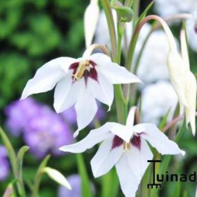 Gladiolus murielae -