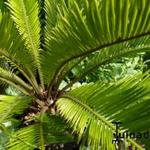 Cycas revoluta - Cycas revoluta - Cycaspalm,Smalbladige Sagopalm,Vredespalm