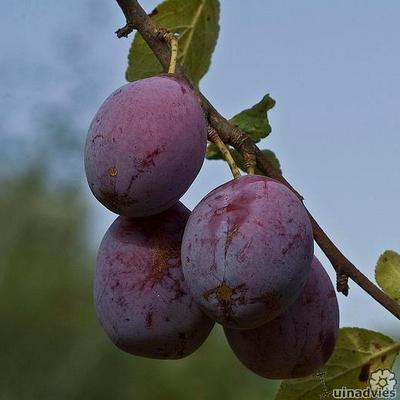 Prunus domestica -