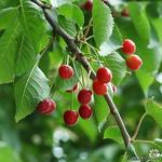 Prunus avium - Prunus avium - Kerselaar, Kersenboom, Zoete kers