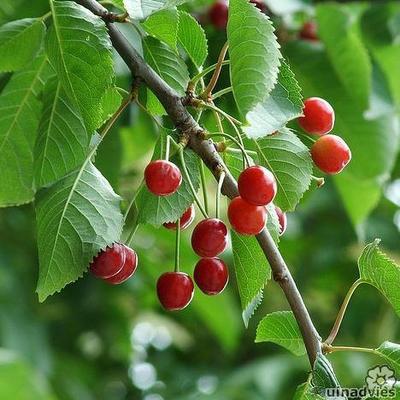 Prunus avium -