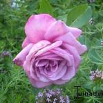 Rosa 'Blue Parfum' -