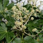 Fatsia japonica - Vingerplant - Fatsia japonica